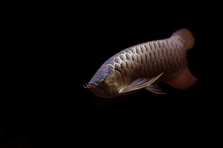 egglayer: SuperRed Arowana on black background  Stock Photo