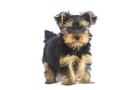 Yorkshire Terrier  2 months  Stock Photo