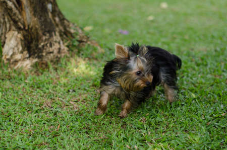 Yorkshire Terrier Dog Playing in the Yard Stock Photo