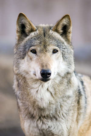 Wolf Stock Photo - 2517795