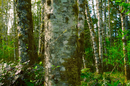 a picture of an exterior Pacific Northwest forest with Red alder trees