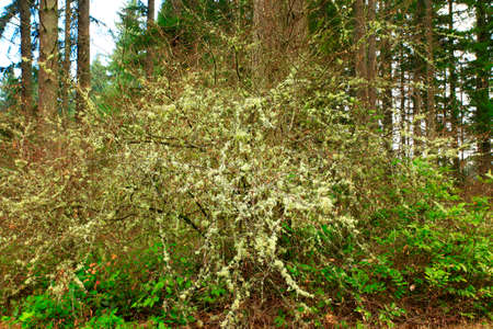 a picture of an exterior Pacific Northwest forest with Hazelnut tree