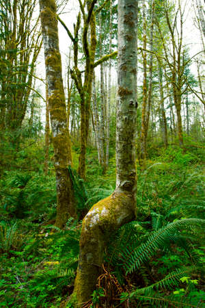 a picture of an exterior Pacific Northwest forest with Red alder trees Stock Photo - 120729258