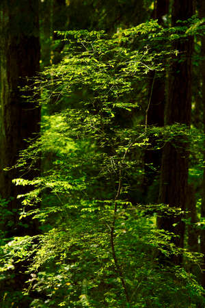a picture of a exterior Pacific Northwest forest with Hazelnut plant