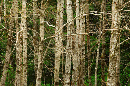 a picture of an exterior Pacific Northwest forest with Red alder trees Stock Photo - 120272572