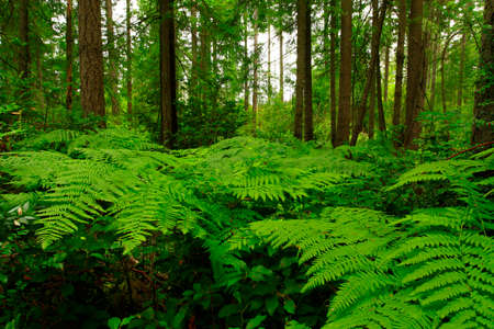 a picture of an exterior Pacific Northwest forest with Deer ferns