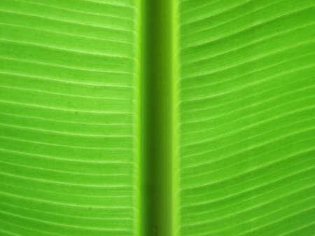 banana leaf: textura en hojas de pl�tano
