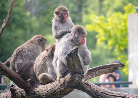 Group of snow monkey watching zoo visitors from tree branch