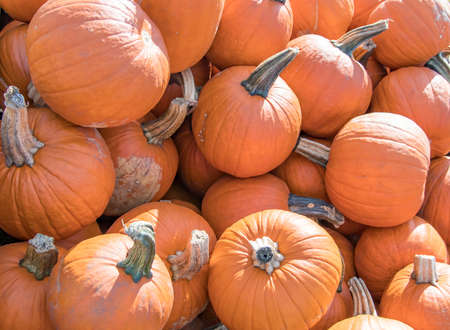 An assortment of round pumpkins for sale at an orchard