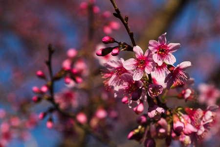 plantae: Pink cherry blossom Stock Photo