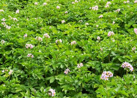 kitchen garden: kitchen garden the blossoming potatoes