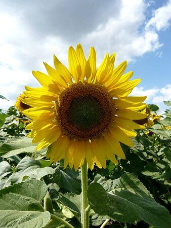 loveliness: sunflower over blue sky