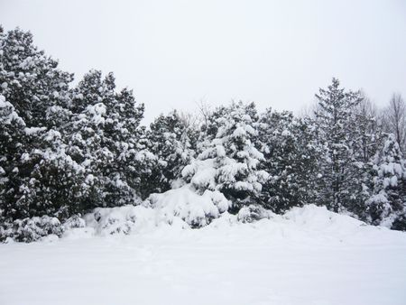 winter forest with pine trees covered by snow photo