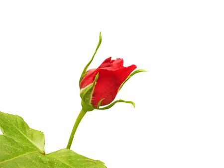 red rose isolated on white Stock Photo - 6674855