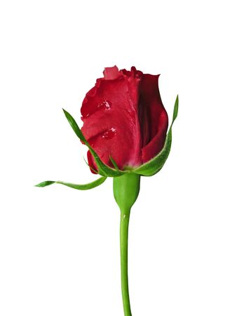 red rose isolated on white Stock Photo - 6674851