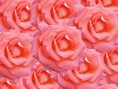 pink roses texture Stock Photo - 6674889