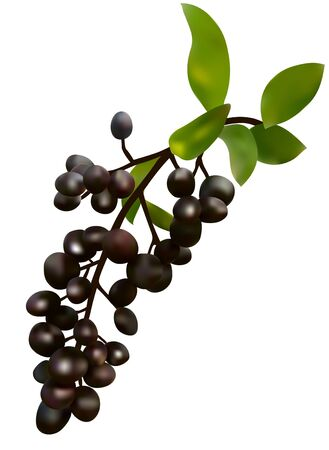 ripe black elderberry fruit, food ingredient Illustration