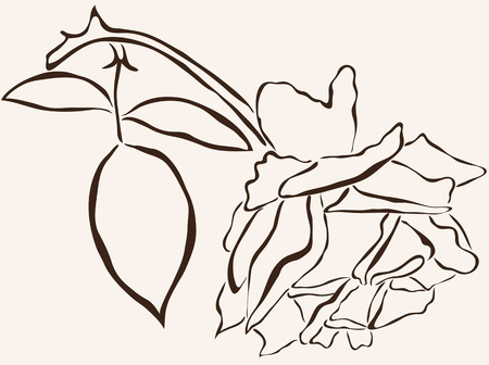 rosaceae: hand drawn rose flower for your design