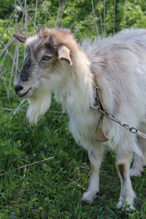 caprine: mature goat in the garden