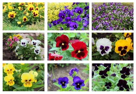collage with 9 multicolor pansy flowers in the summer garden photo