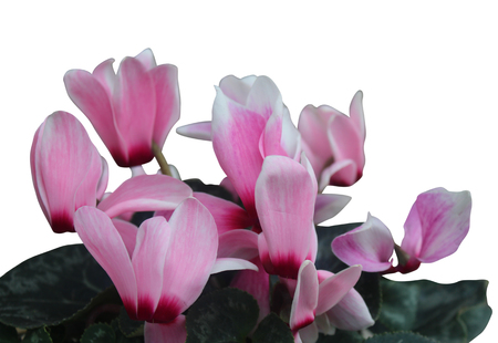 beautiful pink cyclamen flowers isolated on white background photo
