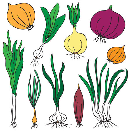 set of different varieties of onion, design elements. Healthy vegetarian food background.  Vector