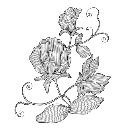 sweet pea: Elegant decorative sweet pea flowers, design element. Floral branch. Floral decoration for vintage wedding invitations, greeting cards, banners.