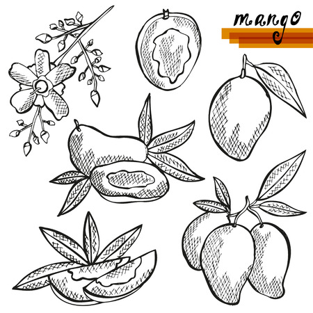 mango fruta: Dibujado a mano frutos de mango decorativos, enteras o cortadas, y la flor de mango. Los elementos de dise�o. Puede ser utilizado para las tarjetas, invitaciones, scrapbooking, de impresi�n, de fabricaci�n