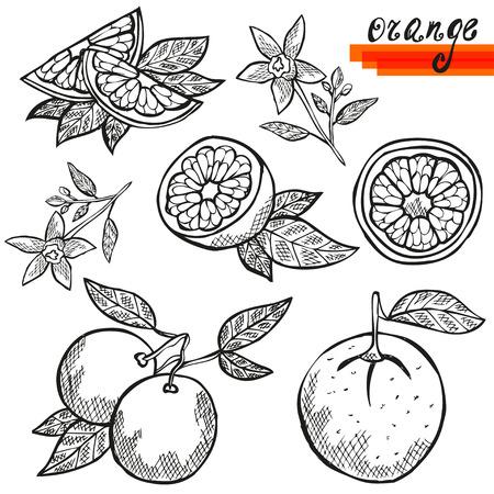 owoców: Ręcznie rysowane dekoracyjne owoce pomarańczowe, w całości, w plasterkach, i pomarańczowy kwiat. Elementy projektu. Owoce cytrusowe. Może być stosowany do karty, zaproszenia, scrapbooking, druku, produkcji Ilustracja