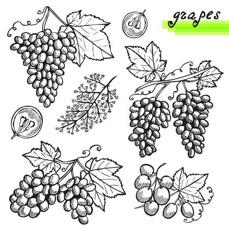 racimos de uvas: Dibujado a mano las uvas decorativas, enteras o cortadas, y la flor de la uva. Los elementos de dise�o. Puede ser utilizado para las tarjetas, invitaciones, scrapbooking, de impresi�n, de fabricaci�n