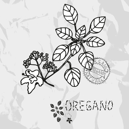 oregano plant: Hand drawn oregano plant with flowers, design elements. Culinary spices. Can be used for cards, invitations, gift wrap, print, scrapbooking. Kitchen theme