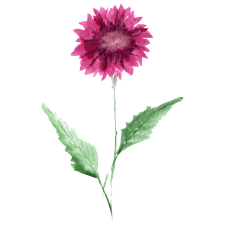 aster: Decorative watercolor aster flower, design element. Can be used for wedding, baby shower, mothers day, valentines day cards, invitations. Painted flower Illustration