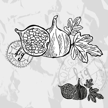 fig: Hand drawn decorative fig fruits, design elements.  Illustration