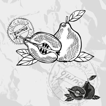 quince: Hand drawn decorative quince fruits, design elements.