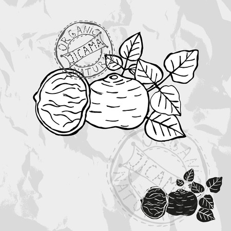 Hand drawn decorative jicama, design elements. Illustration