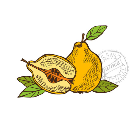 quince: Hand drawn decorative quince fruits, design elements. Can be used for cards, invitations, gift wrap, print, scrapbooking. Kitchen theme