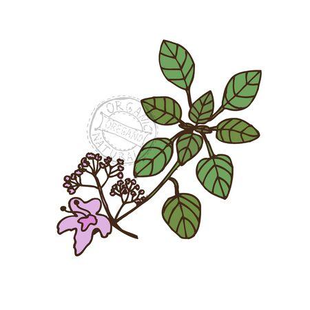 oregano: Hand drawn decorative oregano Illustration