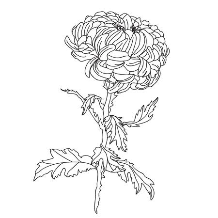 Elegante flor de crisantemo decorativa, elemento de diseño. Rama floral. Decoración floral para invitaciones de boda vintage, tarjetas de felicitación, pancartas.