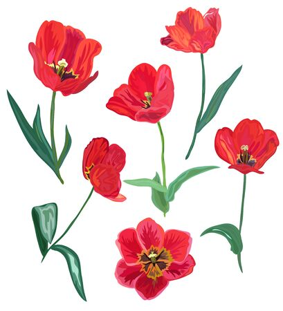 red tulip: Elegant decorative red tulip flowers, design elements. Can be used for invitations, greeting cards, banners, floral backgrounds