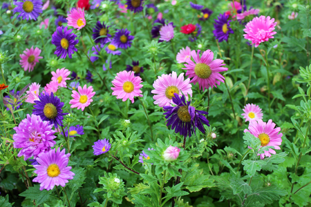 Beautiful multicolor aster flowers growing in the garden on sunny summer day. Natural floral background.