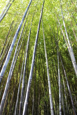 tropical plant: Green bamboo forest. Tropical plant background