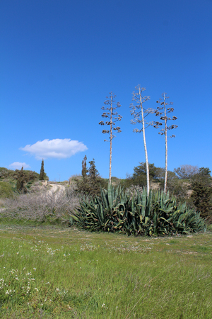 agave: Beautiful agave plants growing in the garden on sunny spring day. Natural floral background Foto de archivo