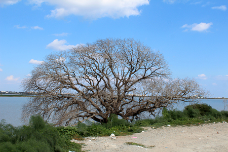 Big dry tree in front of Salt Lake in Larnaka, Cyprus. Natural background Stock Photo