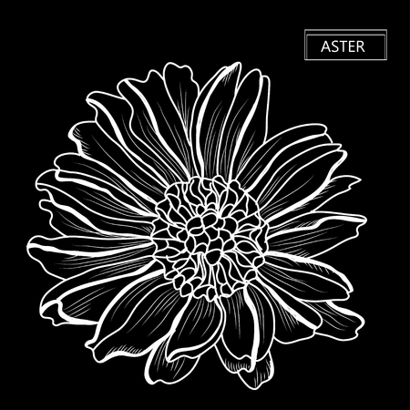 Decorative aster  flower, design element. Can be used for cards, invitations, banners, posters, print design. Floral background in line art style