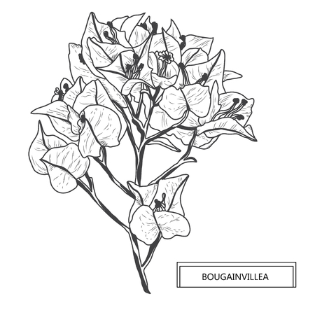 Decorative bougainvillea flowers, design elements. Can be used for cards, invitations, banners, posters, print design. Floral background in line art style Vector Illustration