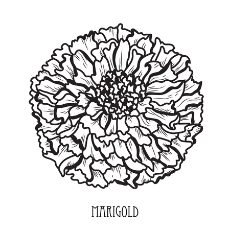 Decorative marigold flower, design element. Can be used for cards, invitations, banners, posters, print design. Floral background in line art style