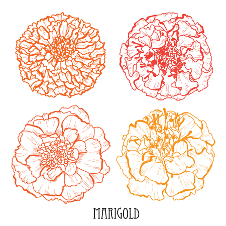 Decorative marigold flowers set, design elements. Can be used for cards, invitations, banners, posters, print design. Floral background in line art style
