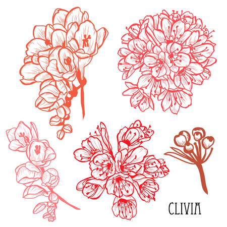 Decorative clivia (bush lily) flowers set, design elements. Can be used for cards, invitations, banners, posters, print design. Floral background in line art style
