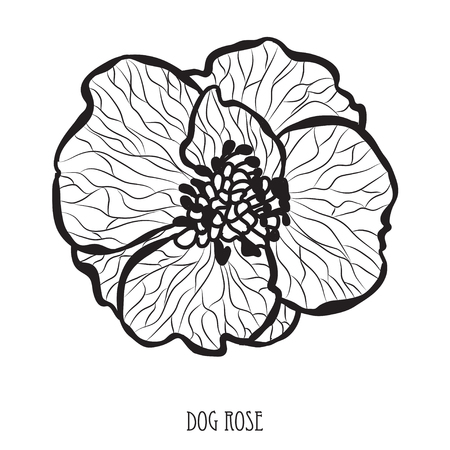 Decorative dog rose flower, design element. Can be used for cards, invitations, banners, posters, print design. Floral background in line art style