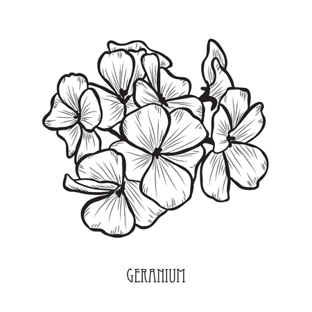 Decorative geranium flowers, design elements. Can be used for cards, invitations, banners, posters, print design. Floral background in line art style